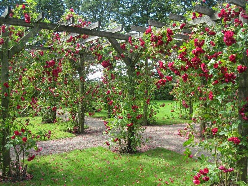 Пергола для плетистой розы